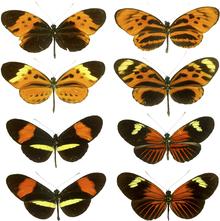 Even butterflies do it